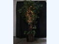 Rental store for FICUS TREE W LIGHTS in Orange County CA